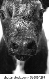 A cow in black and white