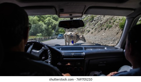 the cow is blocking the road for cars. view from inside the car. A typical image on the roads of the Caucasus and Russia