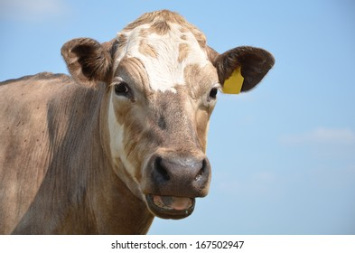 cow, blue sky