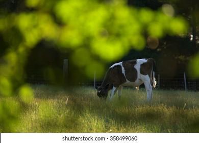 cow with bokeh in historic world heritage longford brickendon area tasmania