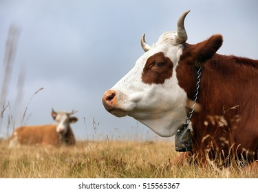 cow (bos primigenius taurus) on Dolomities, Italy