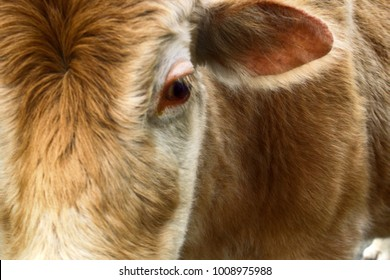 Cow and cow bothersome muscas (face fly, Musca autumnalis), need (benefit) for long ears, lacrimal point. Flies harmful to fattening of cows and milk yield. Eye and ear cow closeup. 	Cow-eyed; ox-eyed