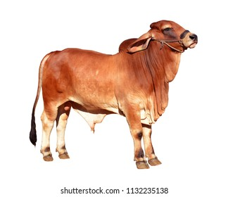 Cow, Brahman Breeders, American Brahmins are isolated in white background