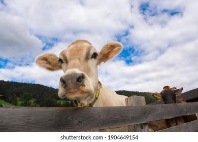 cow in Braies in Trentino Alto Adige in Italy