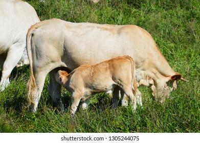 Agree with breast feeding calf agree