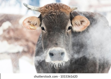Cow Breathing at ice Cold weather