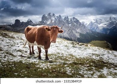 Cow breed fleckvieh and mountains - Shutterstock ID 1531384919