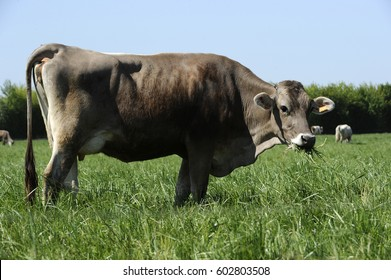 cow brown of the alps in pasture