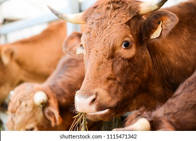 cow and brown cattle herd in small breeding husbandry livestock farming production industry ranch