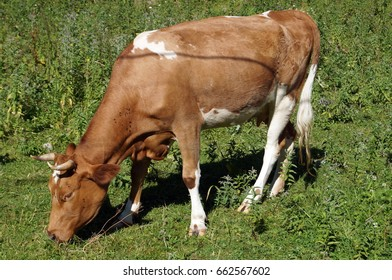 A cow with brown and white wool grazes on a green meadow