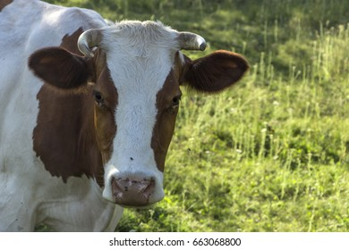 A cow with brown and white wool grazes on a green meadow.