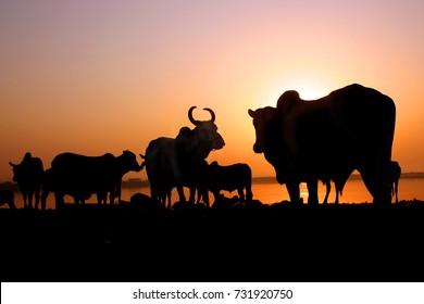 Cow and buffalo