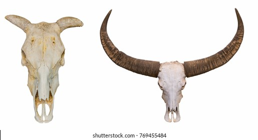 Cow - buffalo, skull on white background