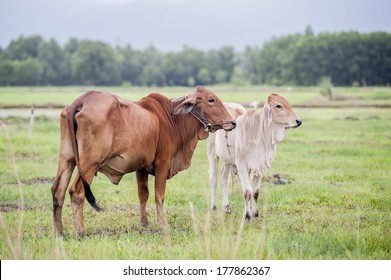 cow with bull calf in a field