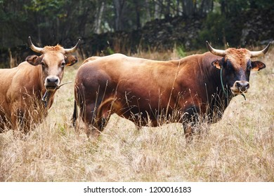 Cow and bull in the countryside. Cattle, livestock. Mammal