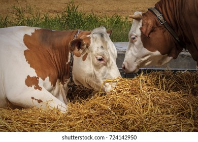 Cow and bull lying and eating on hay in the field