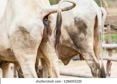 Big sea cow cock