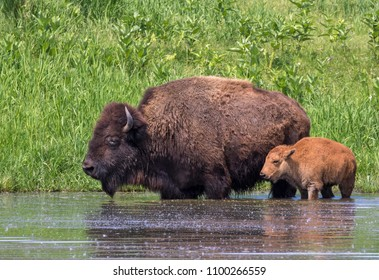 Cow and calf American bison (Bison bison) bathing in a lake during hot summer day, Iowa, USA.