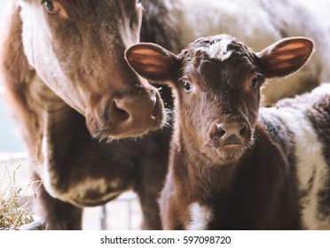 Cow with calf close up on farm