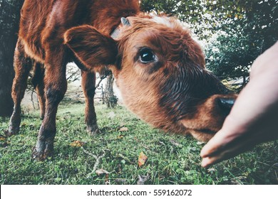 Cow calf eating from man hand funny Farm Animal at alpine green valley summer pasture