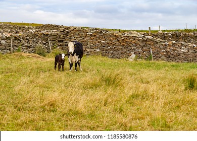 Cow and Calf in a farm meadow, Liscannor, Clare, Ireland
