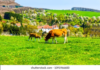 Cow with cow calf grazing on mountain meadow pasture landscape. Cows grazing on cow farm