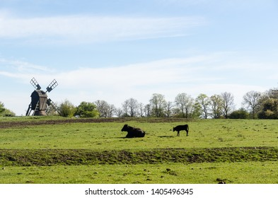 Cow and calf in a green pastureland with an old traditional windmill in Horns Kungsgards nature reserve on the swedish island Oland