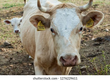 Cow and calf looking at camera
