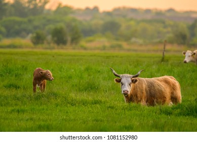 Cow and calf on a field