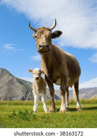 cow and calf on the lawn