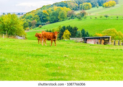 Cow with cow calf on mountain meadow landscape. Cows grazing