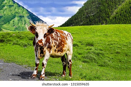 Cow calf on mountain pasture green Calf cow portrait. Cow calf in nature. Cow calf view