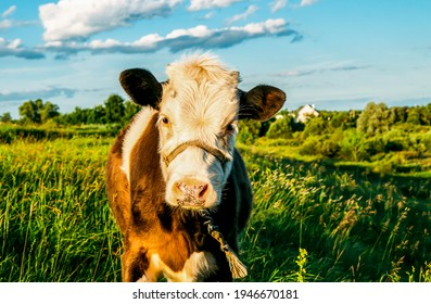 Cow calf portrait on farm pasture. Cute calf portrait. Calf portrait in nature