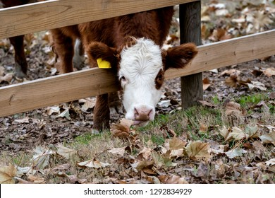 Cow / Calf sticking head through fence to eat fall leaves. Getting a little extra reach with its tongue