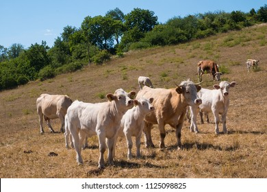 A cow and calfs on the pasture on the summertime