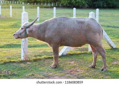 cow carabao farm buffalo