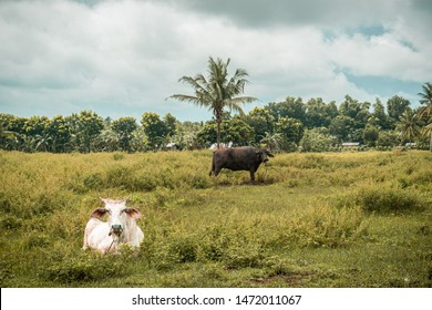 The cow and the carabao in their habitat