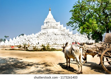 Cow carriage taxi  near the white pagoda of Hsinbyume (Mya Thein Dan pagoda ) paya temple, Mingun, Mandalay - Myanmar