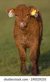 Cow - Cattle