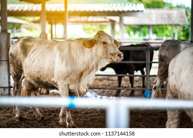 Cow cattle farming and feeding in morning. Farm cow herd industry for beef business of farmer. It big body for breeding of others.