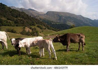 Cow and cattle in mountain meadow