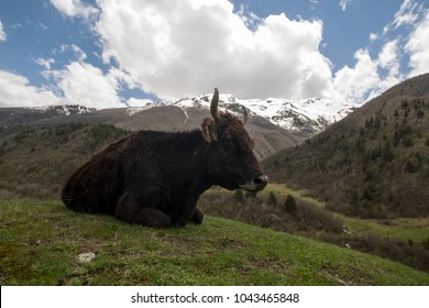 Cow in the Caucasus mountains, Russia