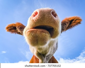 Cow chewing and drooling with crooked mouth.