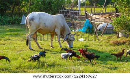 Cow Chicken Eating Grass Stock Photo Edit Now 1224169627