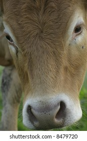 Cow Close UP