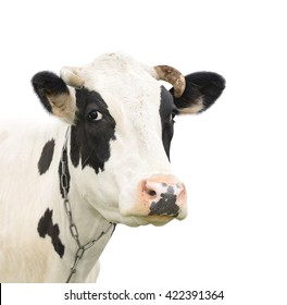 Cow close up. Funny cute talking cow isolated on white. Black and white Cow portrait. Farm animals.
