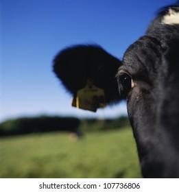 Cow, close-up