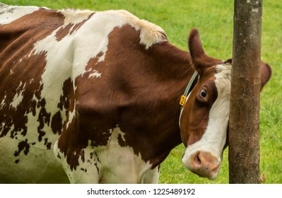 Cow from countryside in Austrian Alps