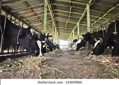 Cow dairy farm.