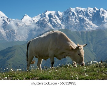 Cow depastures  on alpine meadow. High mountains covered with snow in background.